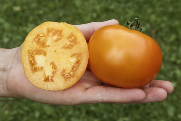 Fleischtomate Mandaline 20 Korn Große leuchtend orangene Fleischtomate mit guter Pflanzengesundheit