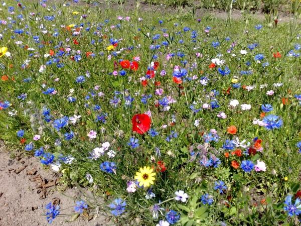 Blumenwiese (ohne Gras, mit Saathelfer) – für feuchte Standorte