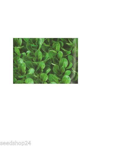 Feldsalat Vit Großpackung 100 g