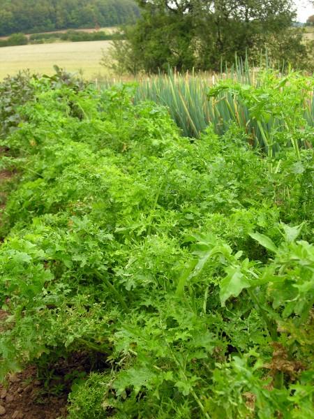 Kohl Brassica Schnittgemüse Asiasalat Feathgreen für ca. 200 Pfl. - Bio-Gemüsesamen - Bio Kohl Bras