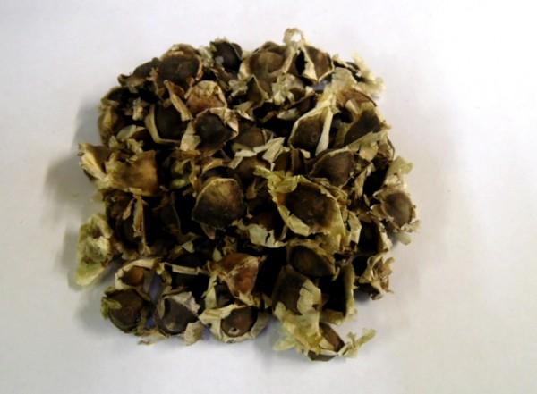 Wunderbaum (Moringa oleifera)