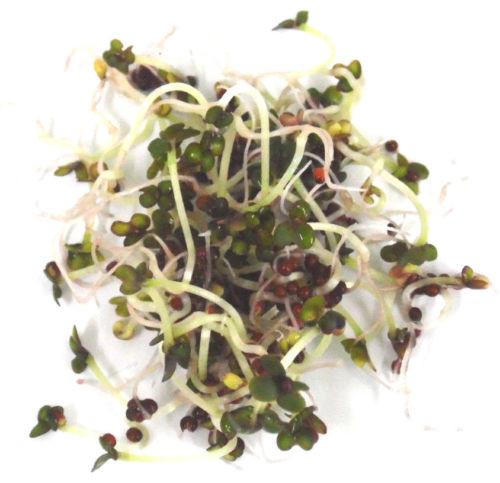 BIO Keimsprossen Mustard Red Mizuna Japanischer Senfkohl Keimsaat Mikrogrün Microgreen