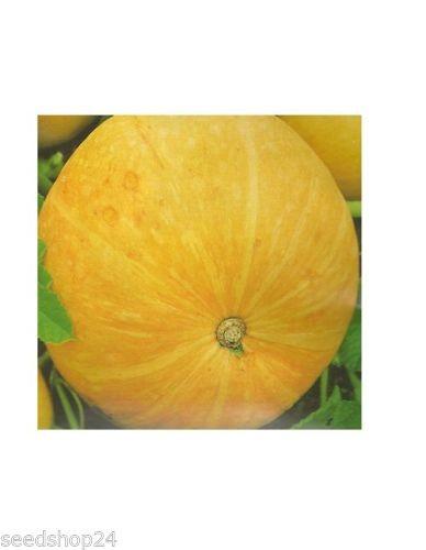 Speisekürbis Gele Reuzen (Riesenmelonen)