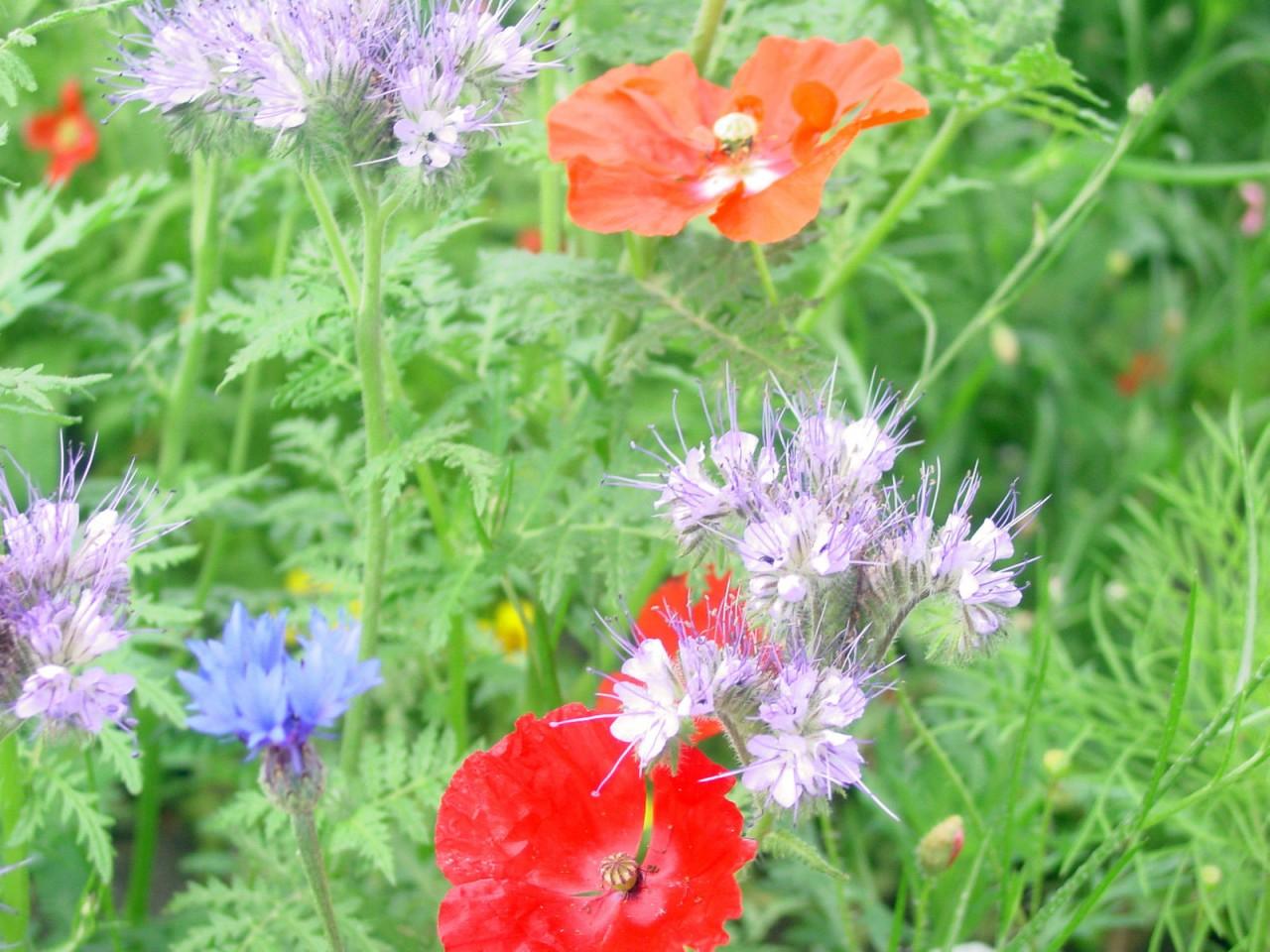 Schmetterlings Wiese bunte Mischung Samen 1 Portion  ein+mehrjährige Blumen