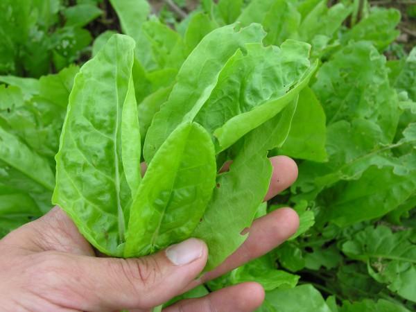 Sauerampfer Belleville für ca. 10 Meter - Bio-Gemüsesamen - Bio Sauerampfer