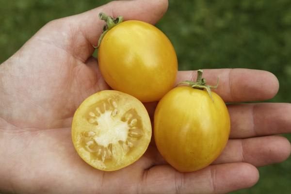 Buschtomate Tigerette Cherry gelb 20 Korn
