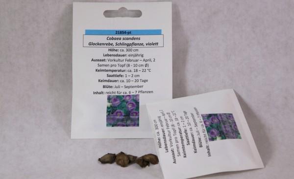 Glockenrebe violett